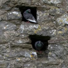 Doves in Irish Castle